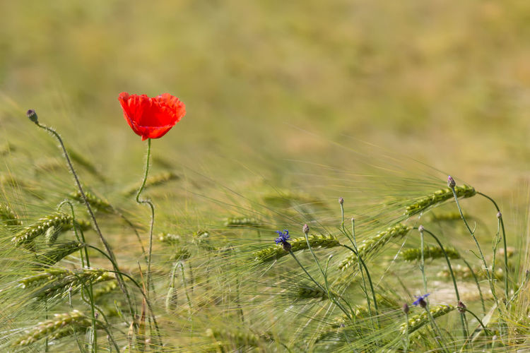 Agriculture Rural Sunlight Wheat Field Wildflower Blooming Close-up Countryside Delicate Field Floral Flower Flower Head Fragility Freshness Growth Landscape Meadow Nature Outdoors Petal Plant Poppy Red Summer