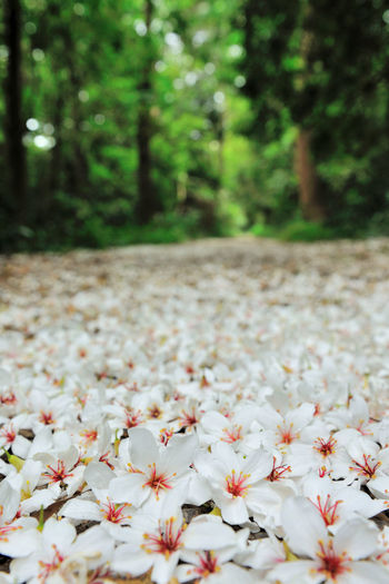 Quiet forest, floating under the white tung flowers, covered with country roads. Natural Beauty In Nature Blooming Close-up Day Delicate Falling Flowers Flower Flower Head Forest Fragility Fresh Freshness Growth Nature No People Outdoors Petal Plant Plant Flowers Spring Tranquility Tree Tung Blossom White Flowers