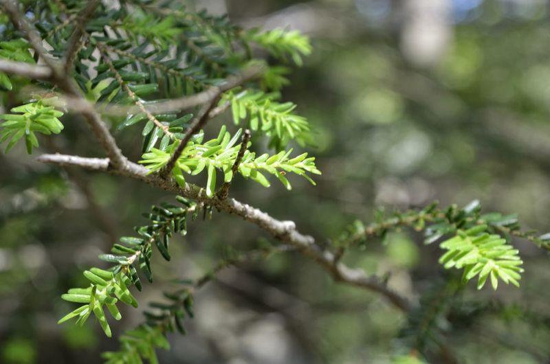 Tree Branch Leaf Beauty Pine Tree Close-up Plant Green Color Needle - Plant Part Coniferous Tree Pine Woodland