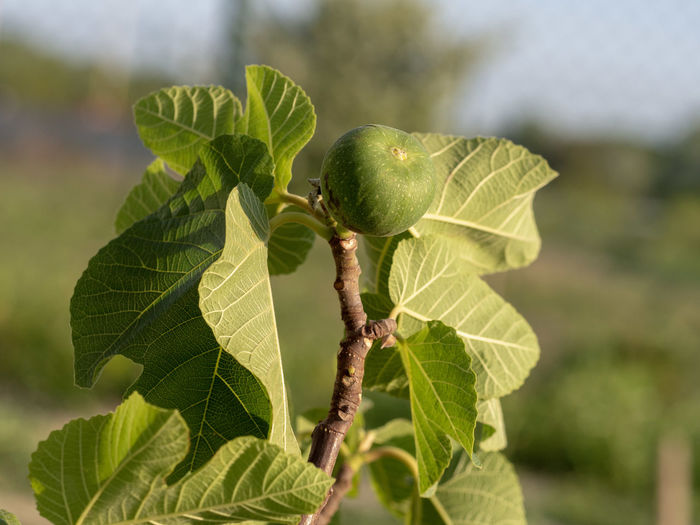 Fig tree with fruit in a garden Fig Tree Fig Tree Fruit Ficus Carica Agriculture Garden Garden Photography Branch Organic Nature Spring Green Leaf Growing Food Leaf Close-up Plant Green Color Fruit Tree