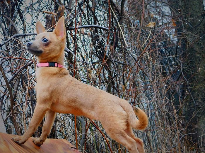 Insticts of a Wolf. 🐺 Adventureswithember Chihuahuah Corgy Wolf Soul Dog Model Dog Pets Domestic Animals One Animal Bare Tree Animal Themes Mammal Outdoors Tree Branch No People Day