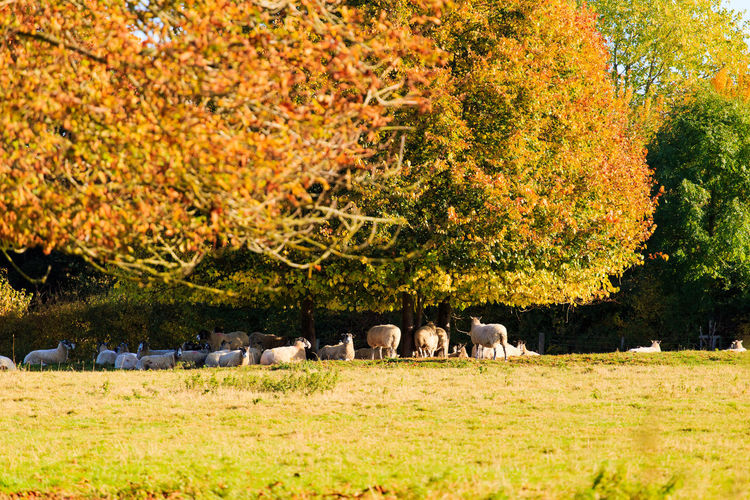 View of sheep grazing in a field