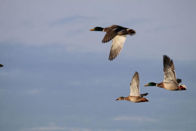 Enten Enten Flug Enten Am See Entenküken Ententeich Entenvögel Teich Am Abend Ente Enten Füttern Entenfamilie Entenfuettern Teich