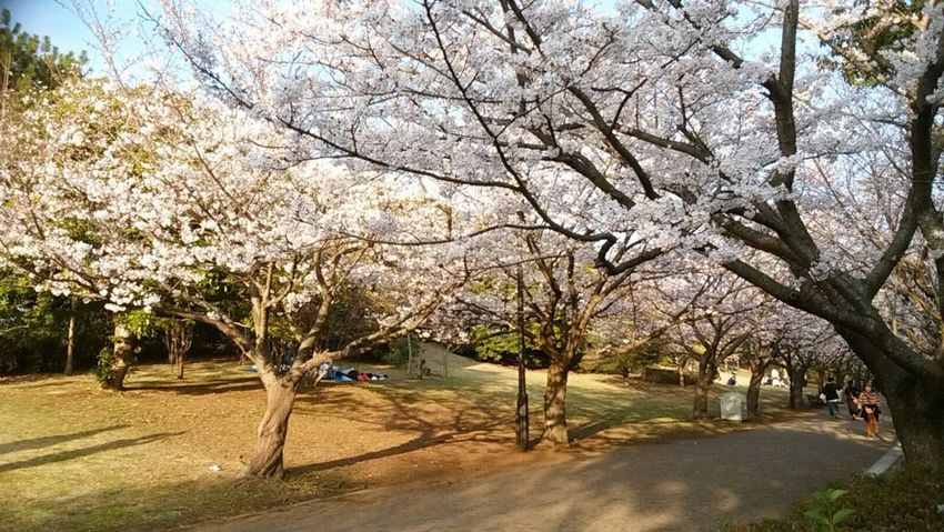 #japan #sakura #cherryblossom #NoFilter Tree Nature Beauty In Nature Branch Outdoors Growth