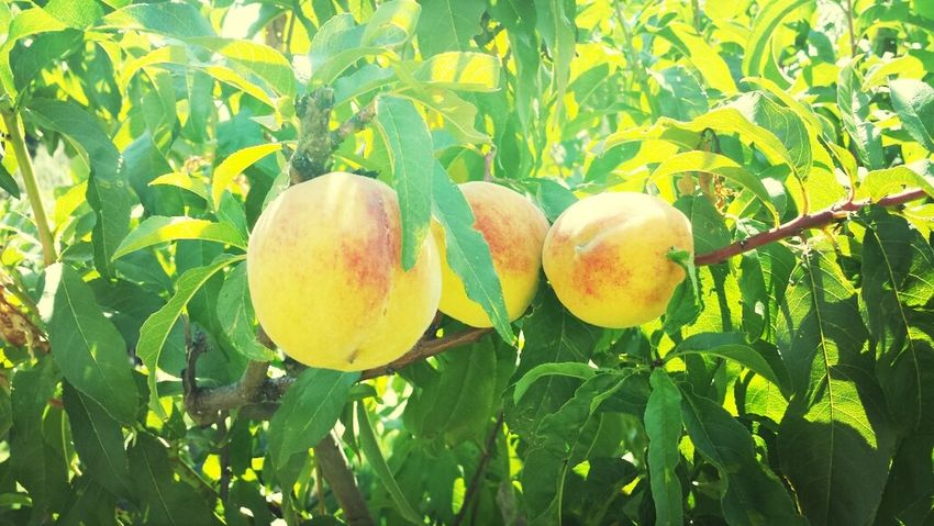 Peaches, Skiathos Travel Nature Fruits Greece Skiathos