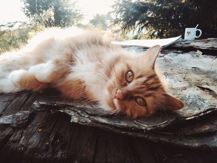 Domestic Cat Animal Domestic Animals Domestic Cat Pets Mammal Animal Themes One Animal Feline Relaxation Portrait Looking At Camera Lying Down Vertebrate Animal Hair Animal Body Part Whisker No People Hair