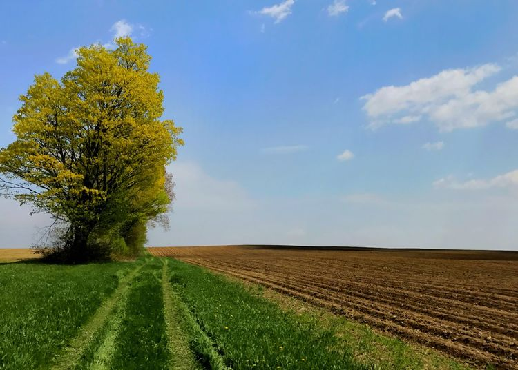 Spring leaves budding on a farm field tree. Landscape Field Rural Scene Path Agriculture Scenics Beauty In Nature Springtime Sky Plough Tree Yellow No People Outdoors Horizontal Betterlandscapes