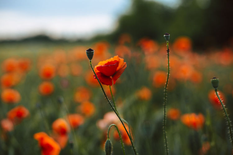 Poppies growing on field