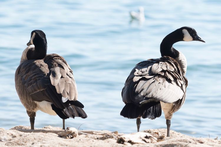 Canada geese on lakeshore