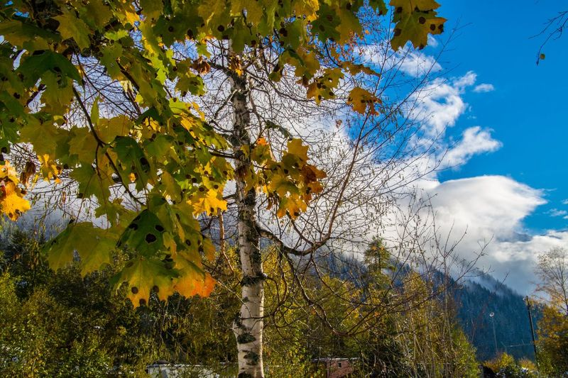 argentiere,chamonix,haute savoie,france Tree Plant Sky Cloud - Sky Beauty In Nature Growth Branch Low Angle View Nature Tranquility No People Day Scenics - Nature Autumn Yellow Tranquil Scene Change Outdoors Flower Flowering Plant Cherry Blossom