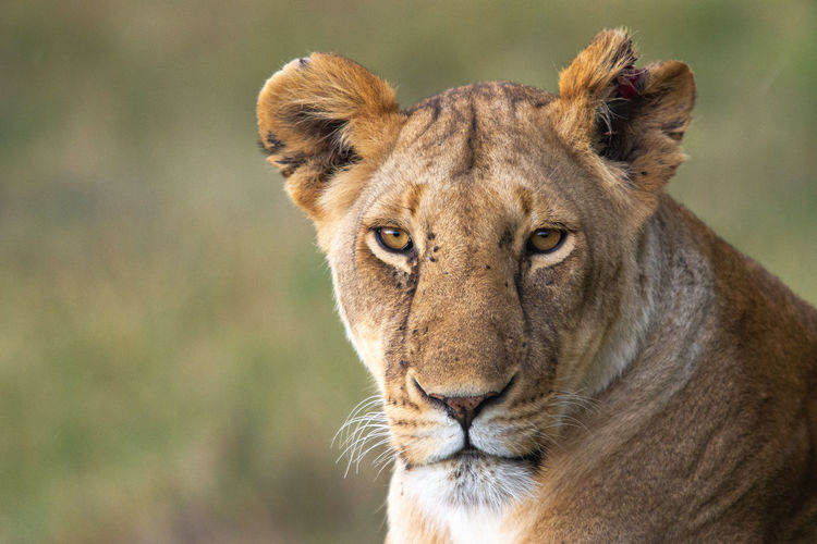 Close-up portrait of a lioness with a torn ear
