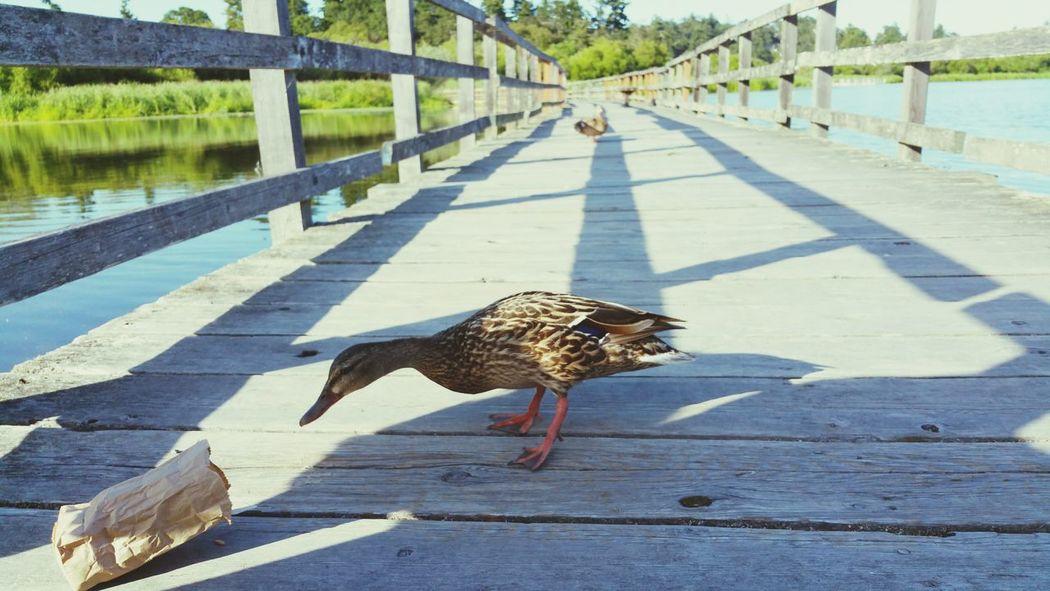 Taking Photos Ducks Duck DuckFaceFriday Mallards Floating Bridge Boardwalk