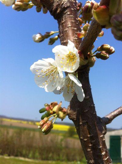 Nature's Diversities Springtime Apple Flowers