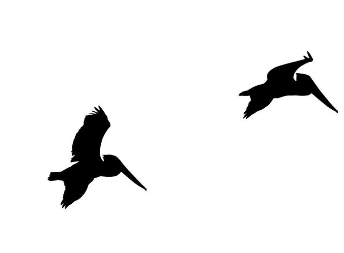 Silhouette of Pelicans in flight isolated on white background. Animal Animal Themes Animal Wildlife Animals In The Wild Beauty In Nature Bird Birds Clear Sky Day Flying Freedom Isolate On White Nature No People Outdoors Pelicans Silhouette Spread Wings