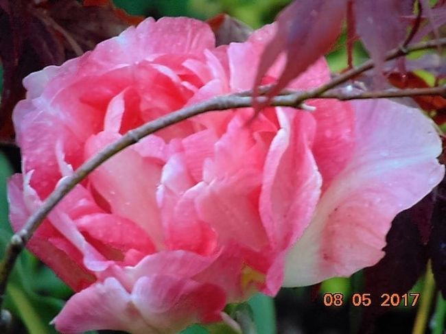 Flower Petal Growth Nature Beauty In Nature Fragility Flower Head Close-up Pink Color Plant Outdoors Day Freshness No People Blooming St Agnes