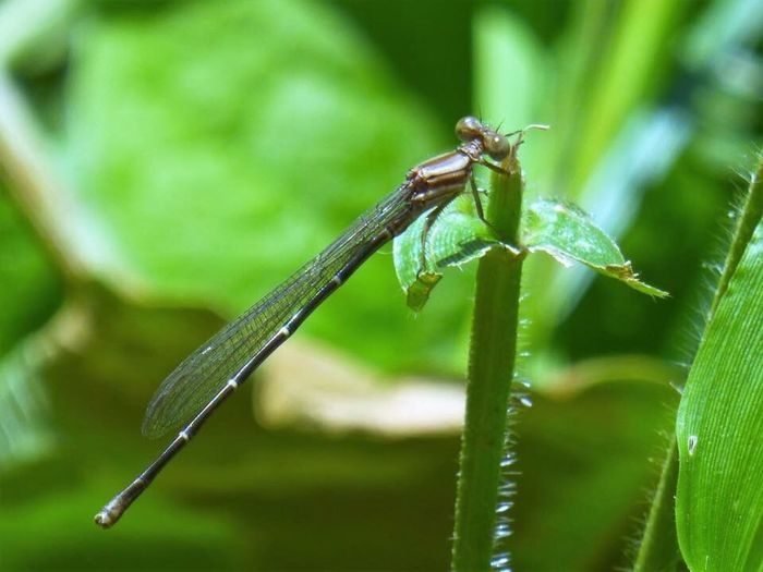 Green Color Insect Focus On Foreground Animal Themes Close-up Animals In The Wild One Animal Nature No People Day Damselfly Outdoors Growth Animal Wildlife Leaf Plant Beauty In Nature