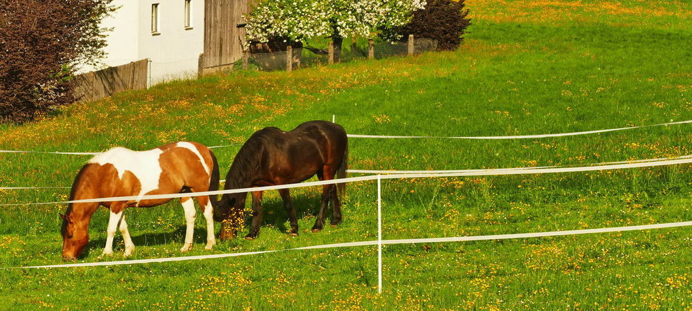 Animal Animal Themes Barrier Boundary Day Domestic Domestic Animals Fence Field Grass Green Color Group Of Animals Herbivorous Horse Horse Photography  Land Livestock Mammal Nature No People Outdoors Pets Plant Vertebrate