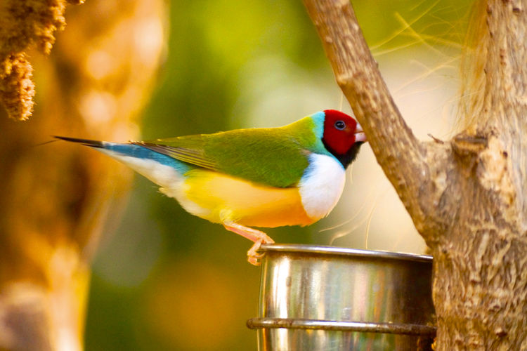 Animal Head  Animal Themes Animals In The Wild Avian Beak Beauty In Nature Bird Bird Feeder Branch Close-up Day Focus On Foreground Multi Colored Nature No People One Animal Perching Red Selective Focus Songbird  Tranquility Vibrant Color Wildlife Zoology