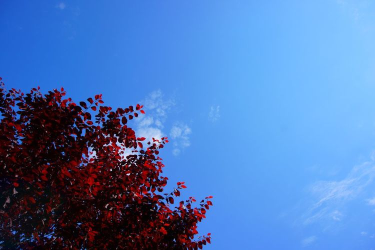 Tree And Sky Sony A6000 Red Tree Getting Inspired From My Point Of View Personal Perspective No People Simplicity Colors Nature Nature On Your Doorstep Red Leaves EyeEm Nature Lover EyeEm Best Shots - Nature Eye4photography  EyeEm Gallery My Unique Style Picturing Individuality Abstract
