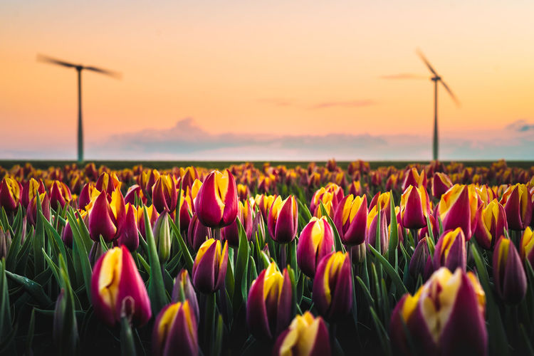 Beauty In Nature Flower Flowering Plant Plant Freshness Land Field Growth Nature Fragility Sky Vulnerability  Landscape Tulip Environment Sunset Tranquility Flower Head Scenics - Nature Rural Scene No People Outdoors Springtime