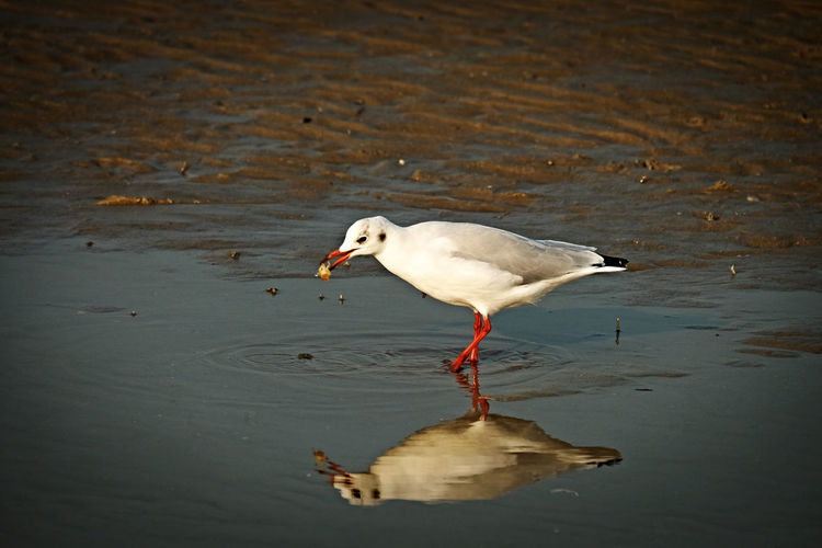 Seagull Shallow Water Muddy Water Reflections In The Water Crustacea Sludge Animal Themes Bird Animals In The Wild One Animal No People Beauty In Nature