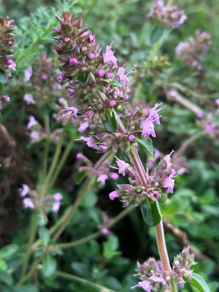 Flower Nature Purple Plant Fragility Beauty In Nature Growth No People Day Petal Outdoors Close-up Freshness Flower Head Blooming Herb Plant Thymus Vulgaris Thyme Herb Garden Slow Food Organic Herb Freshness Cooking Fresh