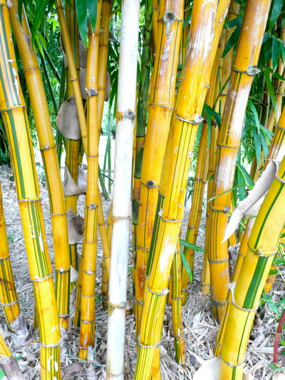 Bamboo - Plant Bamboo Grove Botanical Botany Close-up Day Green Color Nature No People Outdoors Yellow Yellow Bamboo