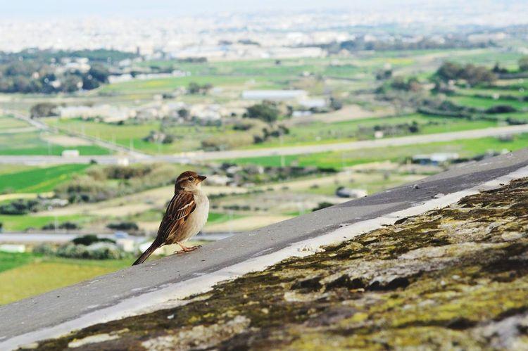 Visiting Malta Malta Malta Gozo Gozo Island Victoria, Gozo Cittadella View Bird Photography Birdwatching Bird Birdeye