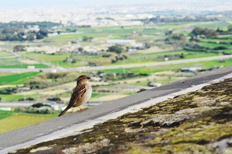 Close up of a sparrow