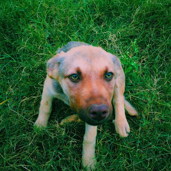 Puppy dog relaxing Domestic Animals Dog Pets Grass Animal Themes One Animal Field Grassy Mammal Green Color Looking At Camera Portrait Animal Head  Close-up Alertness Day Growth Outdoors Focus On Foreground Loyalty First Eyeem Photo