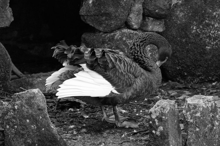 Black Swan Preening Amidst Rock Formation