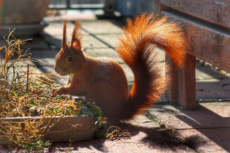 Hej there, I'm back! Squirrel Animal Animal Wildlife City Nature Close-up Looking Spring Squirrel Closeup Sunlight