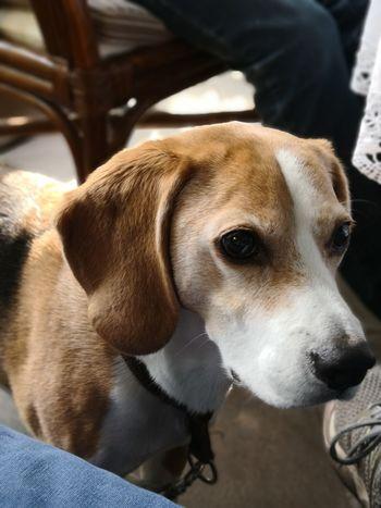 Pets Beagle Dog Portrait Close-up
