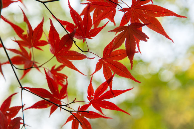 maple leaves on a try at Autumn Autumn Beauty In Nature Change Close-up Day Focus On Foreground Growth Leaf Maple Maple Leaf Maple Tree Nature No People Outdoors Red