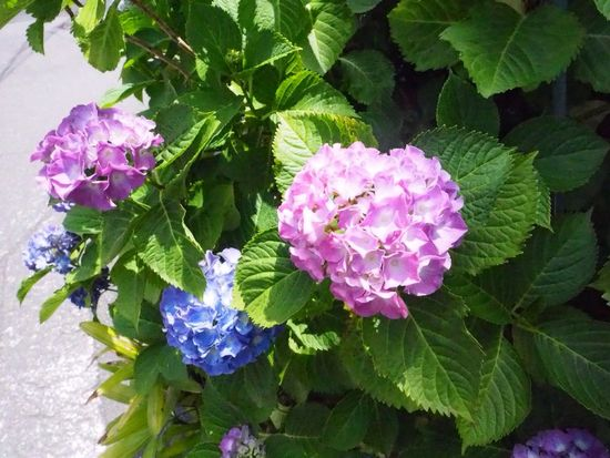 Kyoto Japan Mibu Ajisai Hydrangea Flower Leaf Beauty In Nature Nature Plant Day Purple Outdoors Olympus PEN-F 京都 日本 壬生 紫陽花