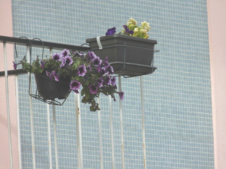 The Street Photographer - 2016 EyeEm Awards Flower Potted Plant Growth Plant Flower Pot Petal Nature Decoration Beauty In Nature In Bloom Blossom EyeEm Best Shots EyeEm Nature Lover EyeEm Gallery Bunch Of Flowers Multi Colored Stem Blue Wall - Building Feature Deceptively Simple Pastel Colors Pastel Power