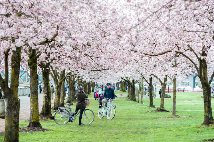 People on cherry blossom