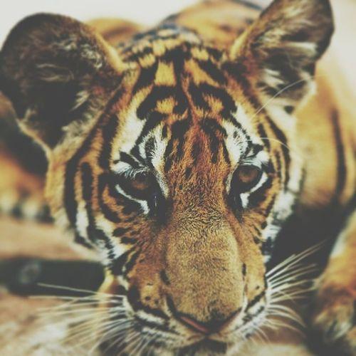 Awwww baby tiger LOL Kyreian Insatlove Instagram tap lion wantone element relaxing twerk yeah instagramlessliz omg pic