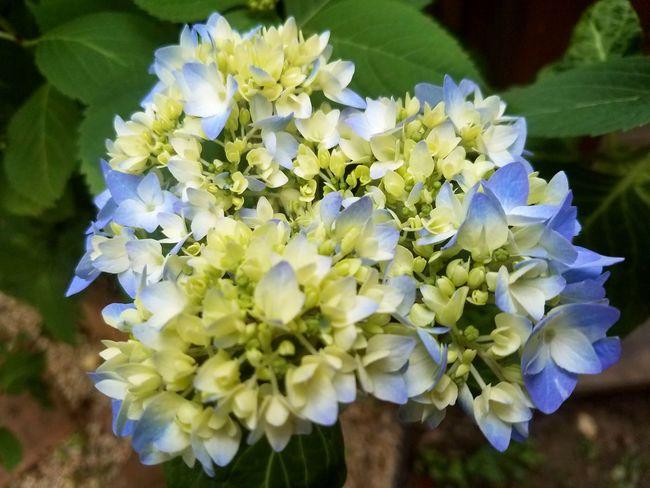 Blue hydrangea early bloom Blue Spring Summer Perennial Gardening Flower Head Flower Petal Purple Close-up Plant Hydrangea In Bloom Bunch Of Flowers Blooming Blossom Flowering Plant