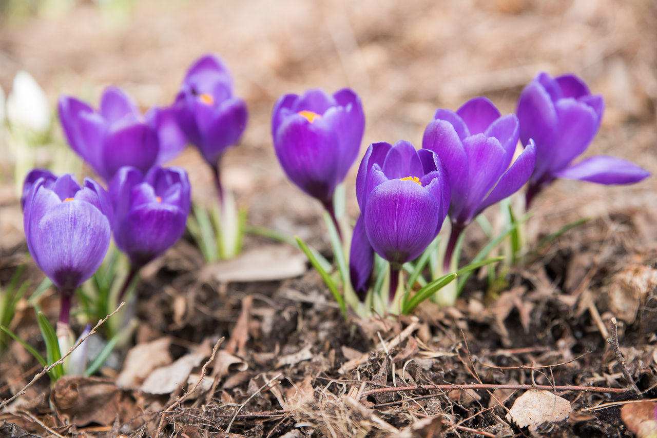 flower, purple, petal, fragility, freshness, beauty in nature, nature, growth, crocus, plant, field, flower head, no people, day, blooming, pansy, outdoors, close-up
