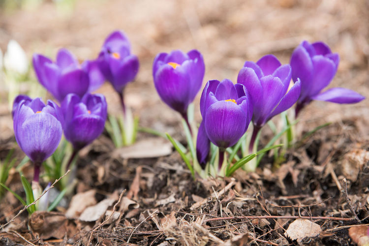Beauty In Nature Close-up Crocus Field Flower Flower Head Fragility Freshness Growth Nature Outdoors Petal Plant Purple Spring Spring Flowers