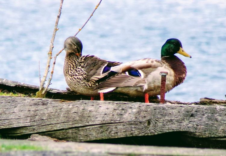 Close-up of mallard duck perching on wood