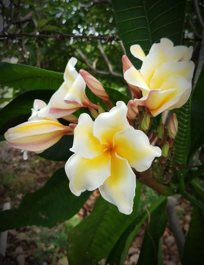 Beauty In Nature Blooming Close-up Day Flower Flower Head Fragility Frangipani Freshness No People Outdoors Plant Tree Yellow