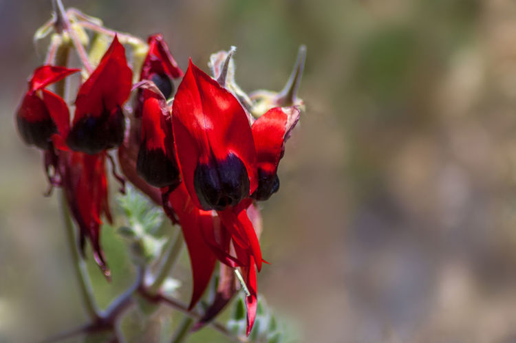 Sturt's Desert Pea wildflower Beauty In Nature Close-up Desert Beauty Desert Pea Desert Pea Flower Flower Head Fragility Freshness Growth Nature No People Outback Outbackaustralia Outdoors Plant Red Sturts Desert Pea Wildflower