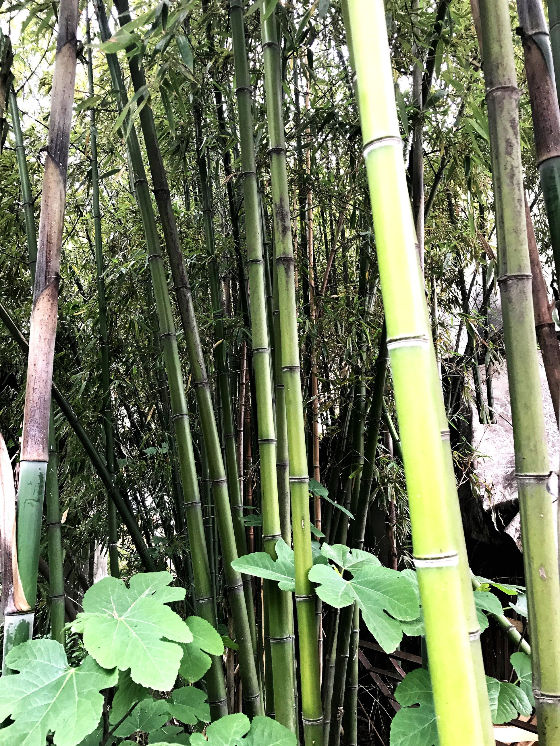 growth, bamboo - plant, green color, bamboo grove, nature, tree trunk, tree, outdoors, day, beauty in nature, no people, plant, tranquility, forest, close-up