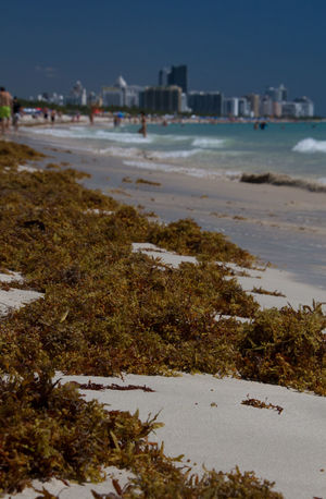 Adventure Focus On Foreground Miami Beach Pacific Ocean People Enjoying Seaweed Shore Travel Photography