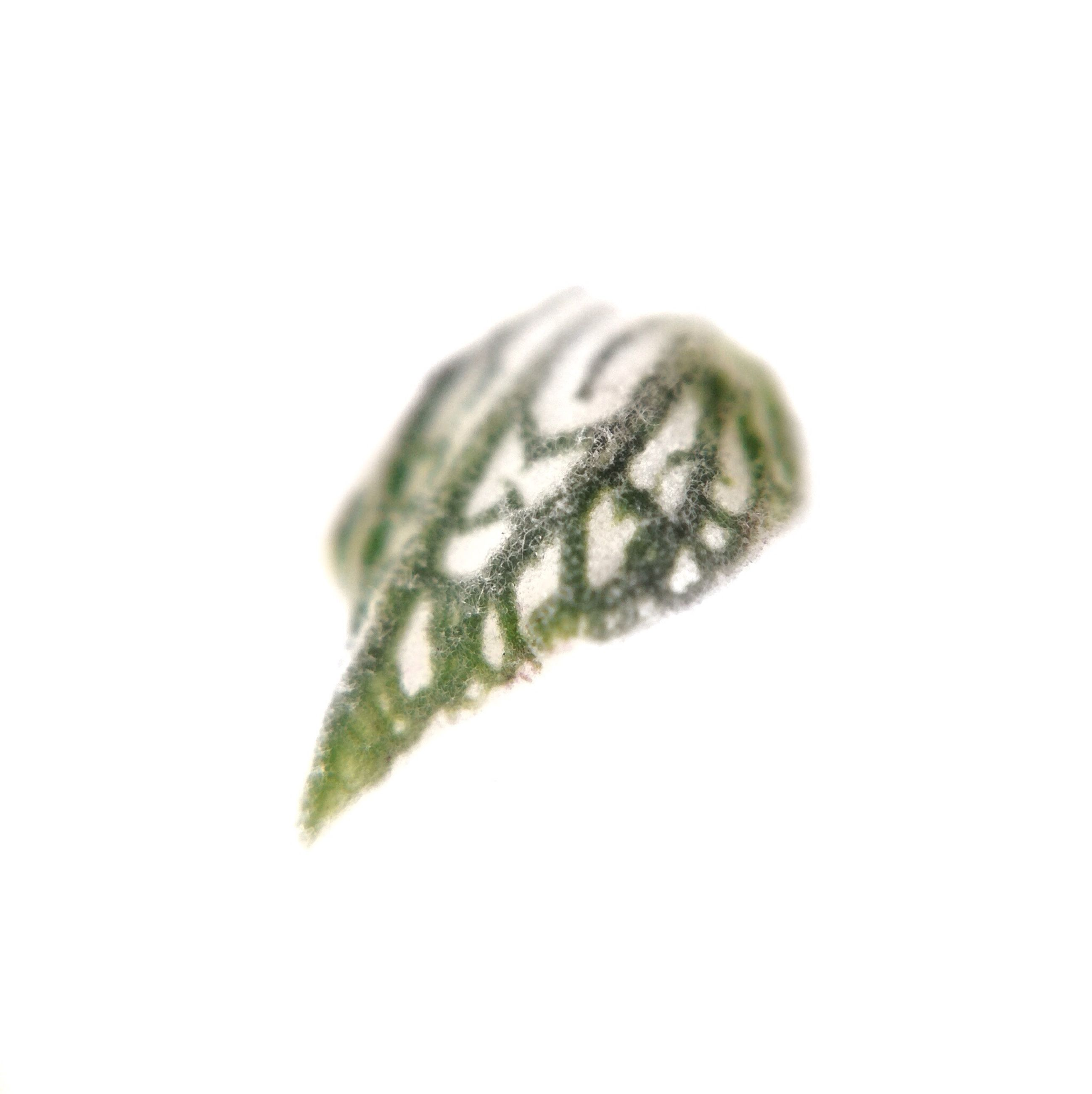 white background, studio shot, close-up, green color, leaf, freshness, copy space, leaf vein, nature, fragility, single object, drop, growth, cut out, still life, green, wet, stem, no people, beauty in nature