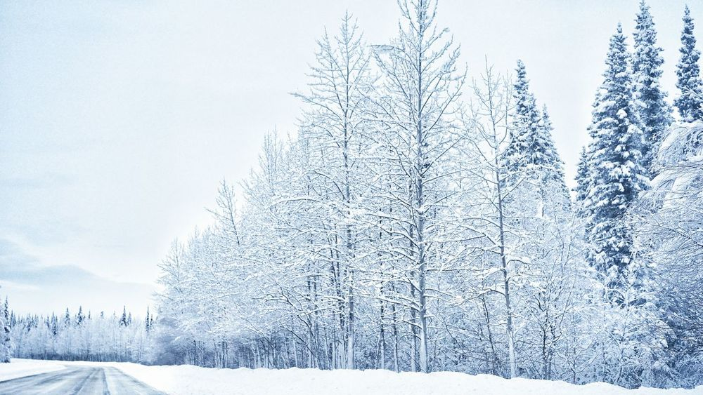 Alaska Trees Snow Trees Cold Winter ❄⛄ Cold Freezing Negative Temperature Nature Snow Sports