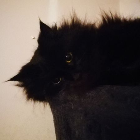 Inka Black Cat Relaxed Cat Long Haired Cat Green Eyed Cat