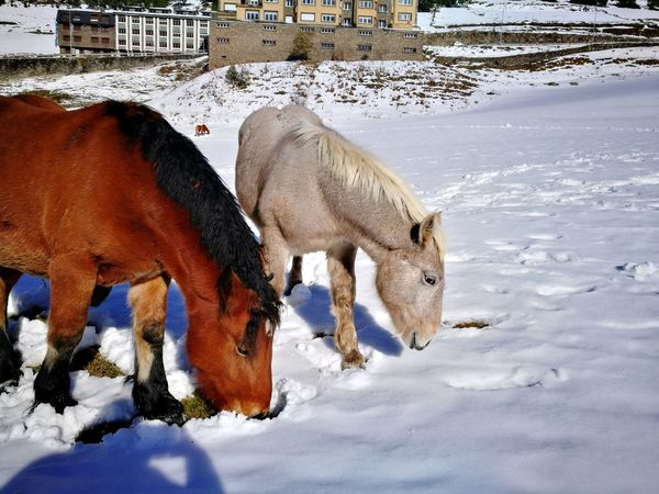 EyeEm Selects Domestic Animals Animal Themes Mammal No People Outdoors Nature Close-up Snow Perspectives On Nature Andorra🇦🇩 Beauty In Nature Wilderness Horses